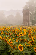 Silo with Sunflowers