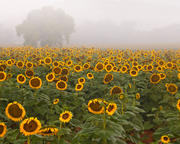 Sunflower Morning ll