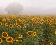 Sunflower Morning ll