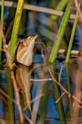 Least Bittern with Reflection