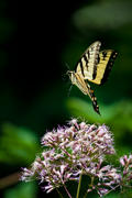 Yellow Swallowtail in Flight