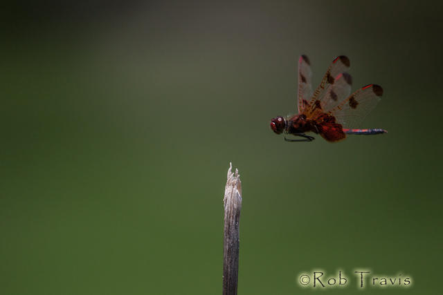 Dragonfly Flight