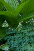 False Hellebore and Texture