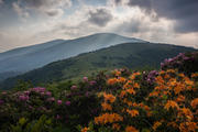 Flame Azalea on Jane Bald