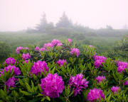Foggy Rhododendron