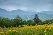 Golden Ragwort Meadow