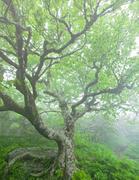 Beech Tree at Craggy