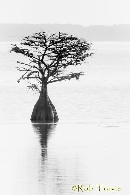 Cypress Tree, Lake Mattamuskeet, NC