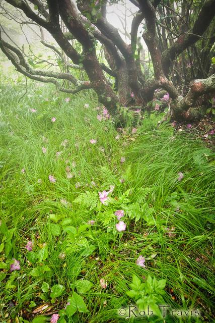 Rhododendron Tree, Craggy Gardens