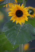 Sunflower in the Rain