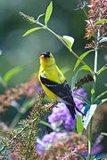 Male Goldfinch on Budleah Branch