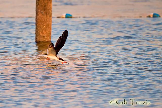 Black Skimmer, Flying Low