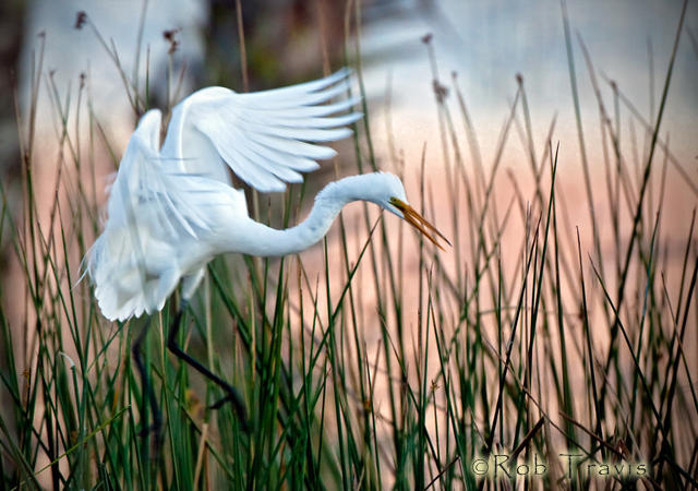 Great Egret, Coming in to Roost.