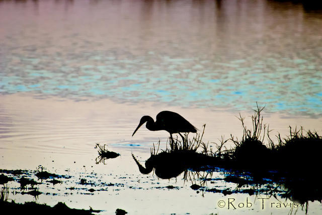 Tri-colored Heron Silhouetted against colored water