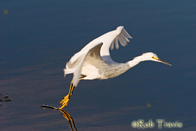 Snowy Egret dancing on the Water.