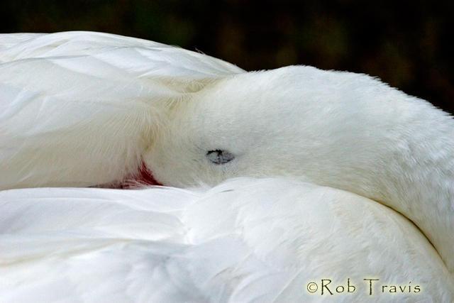 Snow Goose nestled in to sleep.