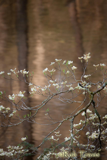 Blooming Dogwood over the Davidson River