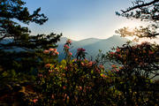 Mountain Laurel in Linville Gorge ll