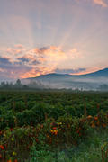 Kanuga Tomato Field at Sunrise.