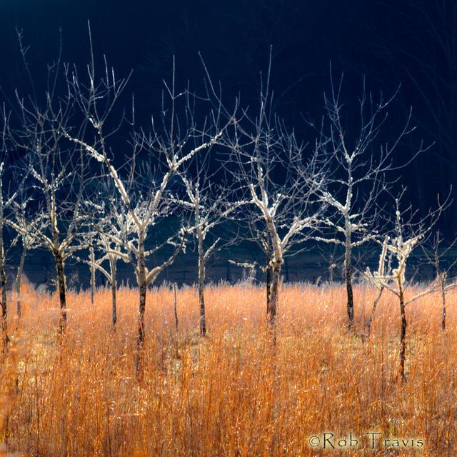 Black Walnut Tree Grove