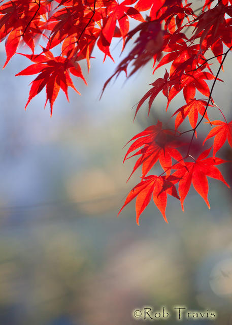 Japanese Maple ll
