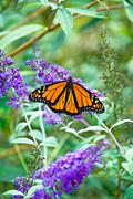 Male Monarch on Budleah