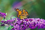 Female Monarch at Rest