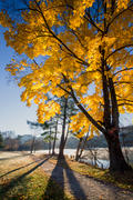 Yellow Maple at Beaver Lake 2