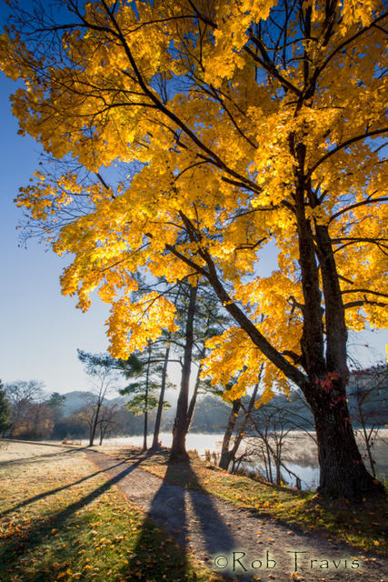 Yellow Maple at Beaver Lake 2
