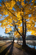 Yellow Maple at Beaver Lake 3