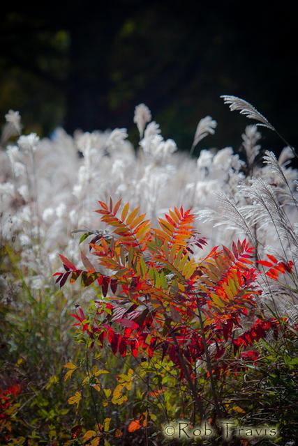 Portrait of Autumn...Sumac and Grasses, near Mills River