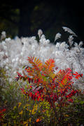 Portrait of Autumn...Sumac and Grasses, near Mills River