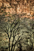 Canyon Tree