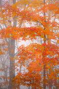 Autumn Tresses, Cedar Mountain, NC