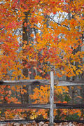 Fenced-In Maple