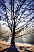Oak in Early Spring