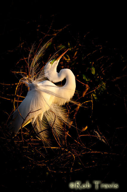 Great Egret in Great Light