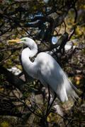 Great Egret in the Wild Oaks