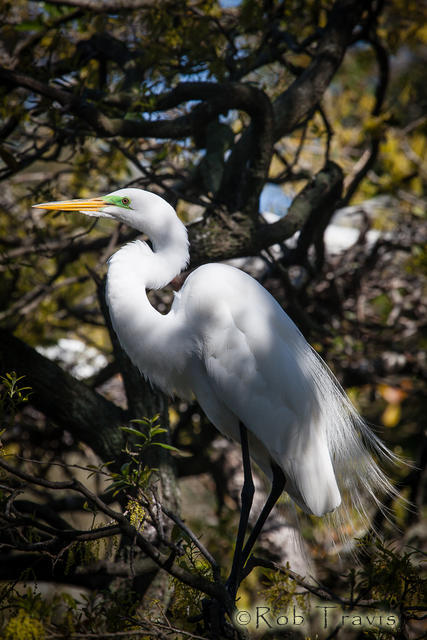 Great Egret in the Wild Oaks