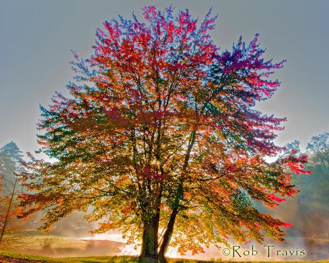 Autumn's Light through a Backlit Maple