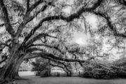Live Oak, Magnolia Gardens