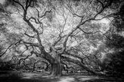 Angel Oak, John's Island (Rendered in Black and White)