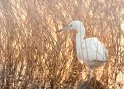 Egret, Fishing