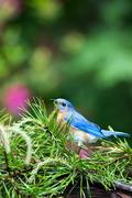 Male Bluebird, resting...