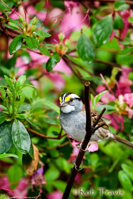 White-Throated Sparrow in Azaleas