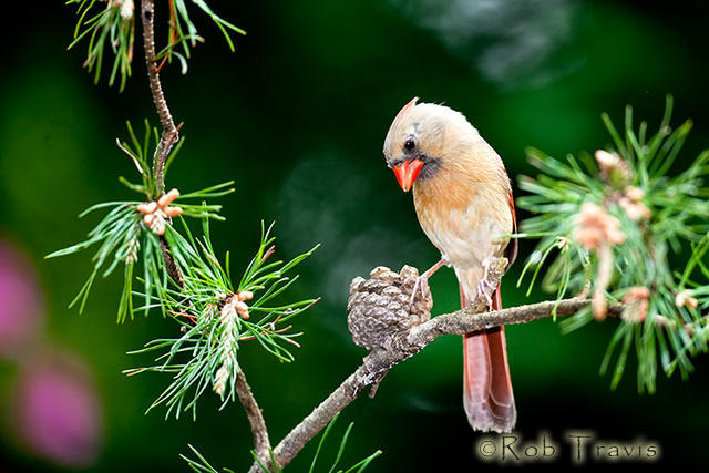 Female Cardinal, perching on Pine Bough