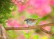 White-Throated Sparrow on Perch