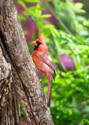 Classic Cardinal on Tree Trunk